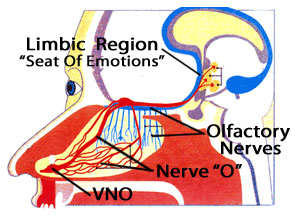The limbic region of the brain